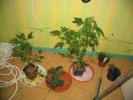 La culture du cannabis en int rieur for Plantation interieur cannabis